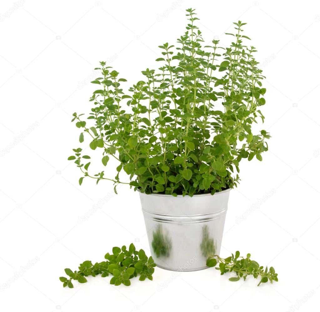 mejorana planta